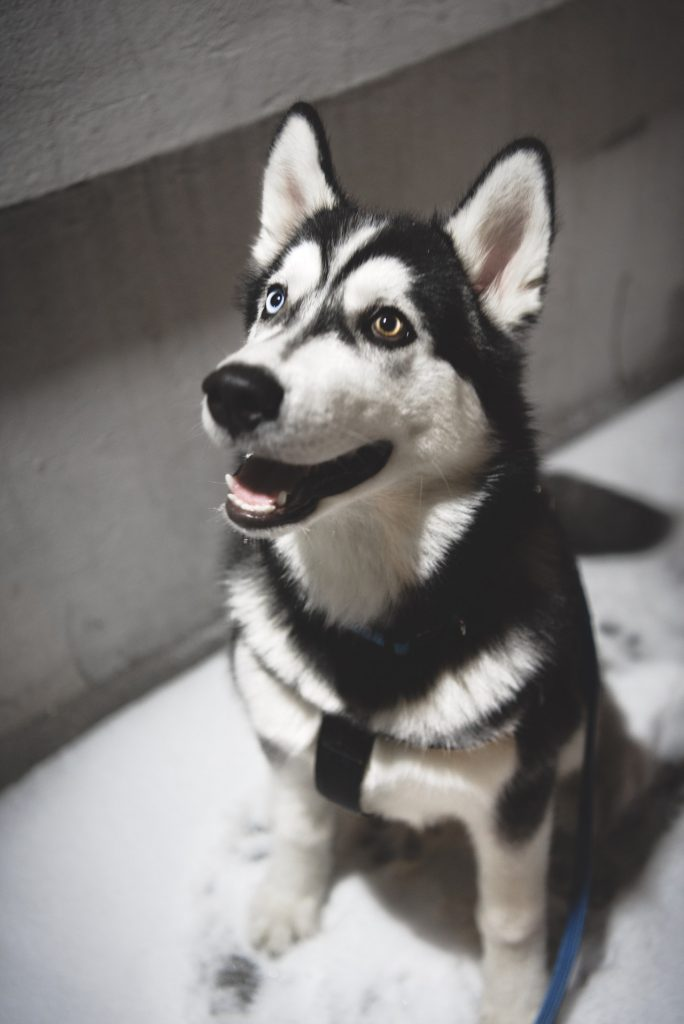 Sierra, The Incredible Cancer-Sniffing Husky
