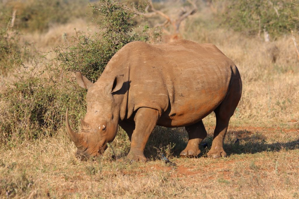 White Rhino, Lion, Giraffe And Hyenas Electrocuted In Freak Kruger Park Incident