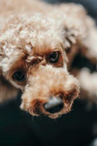 SPCA Seizes 45 Dogs From Show Judge, Breeder