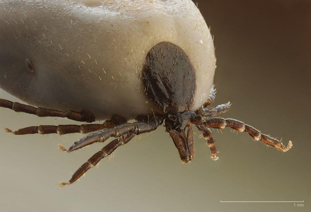 Ticks: Tiny But Deadly
