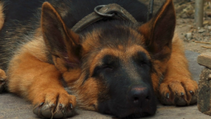 Helping your German Shepherds Sleep Well